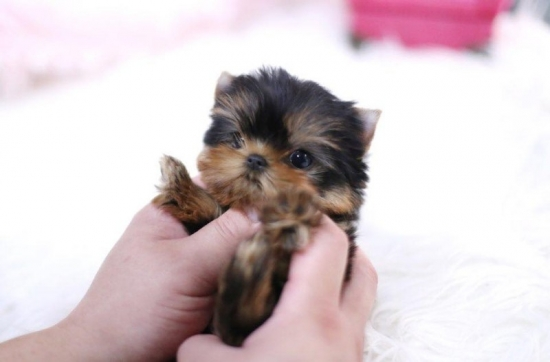 Absolute Joyful yorky puppy For free adoption