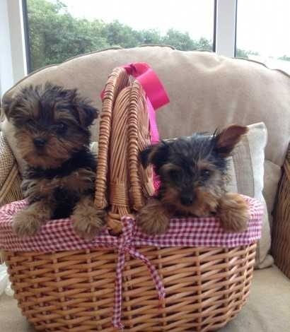AKC registered Male & Female Yorkie re-homing
