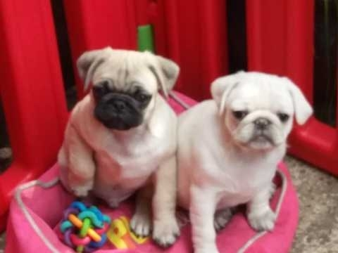 Pug puppies needs a loving home
