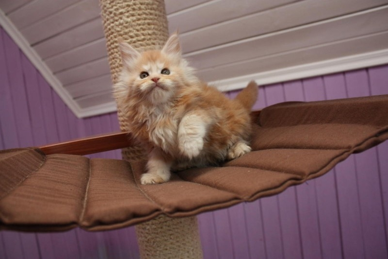 New Jersey Maine coon kittens for sale : Pets and Animals in