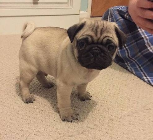 AKC Registered Fawn and Silver Fawn PUG puppies!!!